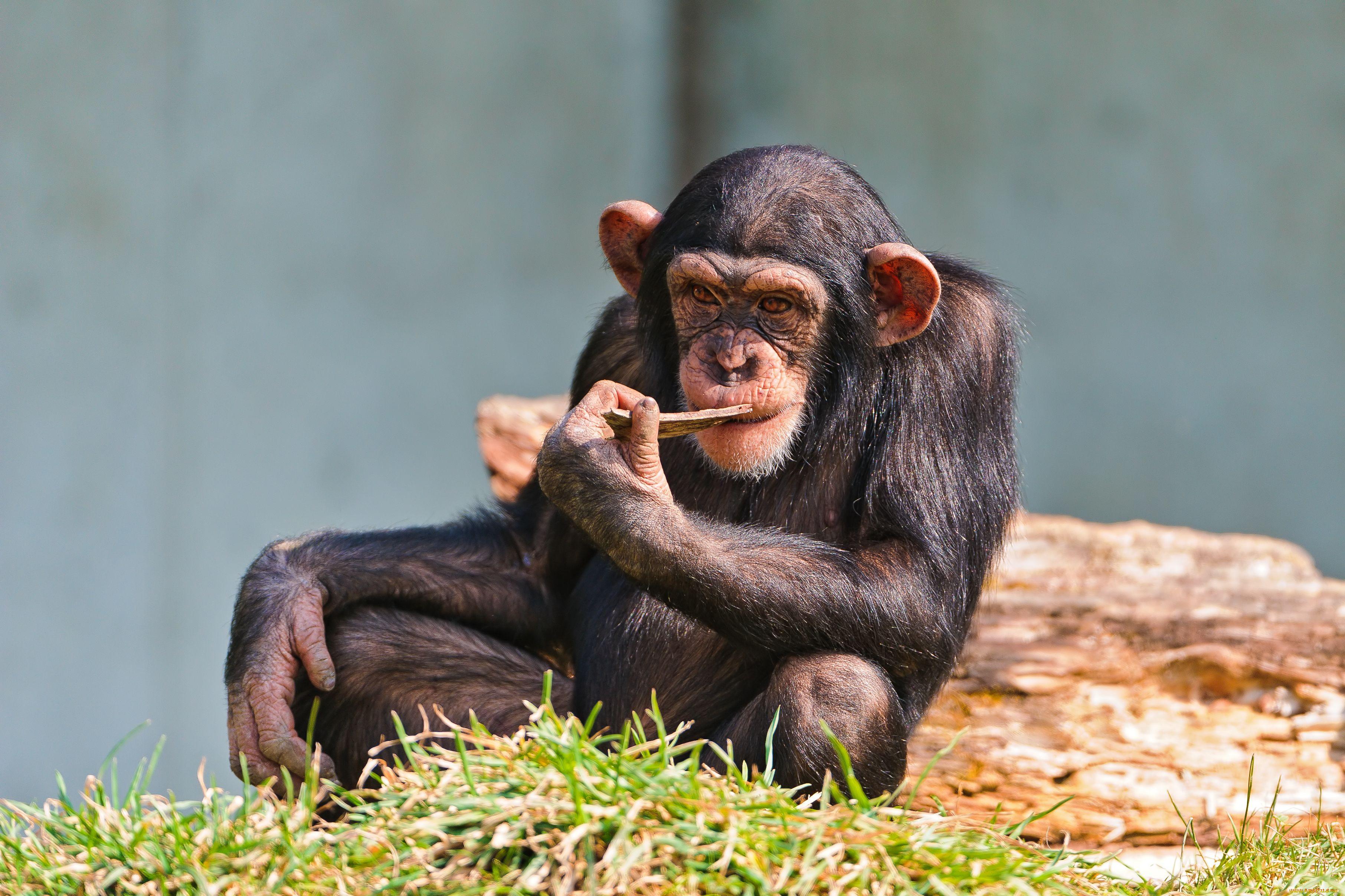 Картинка обезьян на рабочий стол